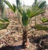 <鉢植えの鉢サイズと土について> 棕櫚の木を知り合いから頂く予定です。 幹が30cmで全長70cmぐらいです。庭(地植)から掘り出して我が家にやってきます。 私は庭に植えず当分の間は、鉢で育てたいと思っております。 以下、質問です。知識のある方、ご教授お願いします。 Q1.鉢のサイズは、長鉢(10号)でも大丈夫でしょうか? Q2.土にベラボンを混ぜて使いたいと思っていますが問題ないでそうか?...