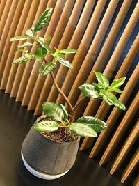 これはなんという植物ですか? 会社で育ててるのですが、なんと言う植物なのか知りません…。 最近葉っぱの表がペタペタする夜になってきて、飾っている棚もこの植物のところだけ下がペタペタしまう。 このペタペ...