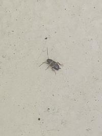 虫に詳しい方教えて下さい。※虫の写真添付しております。虫が苦手な方閲覧お控え下さい。 家の中で1cm程の色は茶色っぽいような黒っぽいような虫が現れました。これはゴキブリの一種ですか。今後発生しないように対策したいので虫の種類がわかる方いらっしゃいましたら教えて下さい。