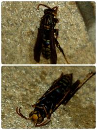 今、雨戸を閉めようと思ったらアシナガバチ(たぶんセグロアシナガバチ、去年たくさん駆除したのと同じような蜂)がポロッと1匹落ちてきました。 1匹だけで、動きものろく、殺虫剤でやりました。 冬眠から覚めたということですか? このように1匹アシナガバチが出たらこれからたくさん出てくるんでしょうか?