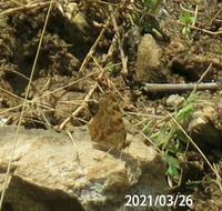 蝶の名前を教えてください、 岐阜県美濃加茂市で、 撮影20210326