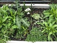 鉢のなかに草がいっぱいあるのですが雑草かどうかわからず抜けず悩んでいます。 前任者から引き継ぐのを忘れてまして…左上あたりの草はとげがあって痛いです。写真の真ん中あたりに(白い花の右横)ちぎっておき...