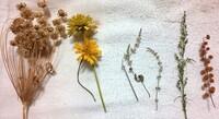 これらはドライフラワーになってしまっている植物なのですが、名前を教えていただきたいです。 5つそれぞれなんという名前の植物でしょうか? 小さい花は見づらいかもしれません、申し訳ありません。 真ん中の白...