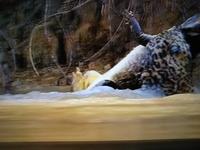 ジャガーはワニをおそいたべますが コモドドラゴンと戦うと勝てますか?