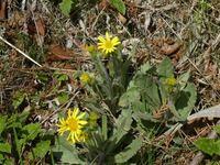 コノ植物の名前教えてください。 タンポポに似ているけど葉が違います。 ノコギリ葉じゃないし毛が有ります。