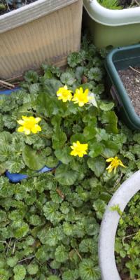 この黄色の花の植物の名前を教えてください