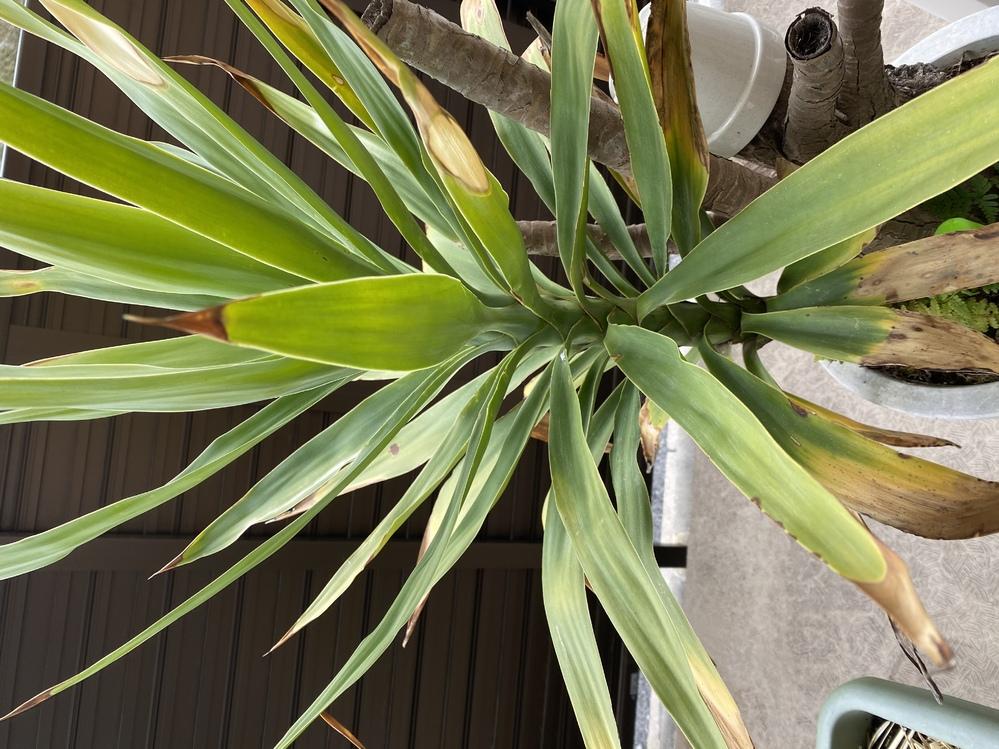 この植物の名前はなんでしょうか? 枯れてしまっている葉はそのままの方がいいのか、ハサミで根本から切り取ってしまった方がいいでしょうか??