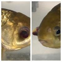 フナの目のひどい充血について 稚魚の頃から十数年飼育しているフナについての相談です。 ある日気がつくと右目の中に血のような赤い液体が溜まっていました。 水換えと水槽掃除は週に1〜2回行い、エアレーションもしています。現在は、水温を20度ほどにして0.5%塩浴で様子を観ています。詳しい方、どう対処すれば良いのかご教示ください。