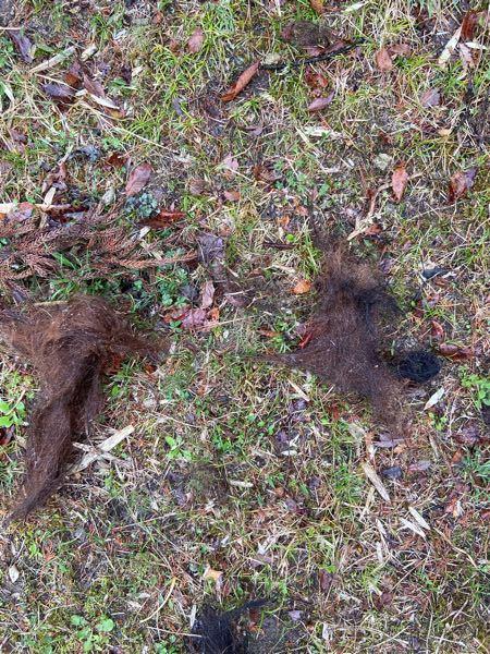 この毛は何の動物の毛だと思われますか? このような塊でまとまって落ちていたのですが、、 ※裏山に落ちていました。家の裏側は山になっています。