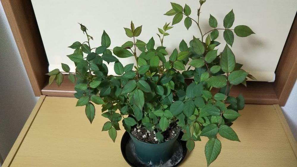 バラの植え替え ガーデニングに詳しい方教えていただけると有り難いです。 1月にバラのポットを買ってきました。 3月後半になり、毎日どんどん葉が伸びて大きくなり、蕾も出てきたのですが、植え替えた...