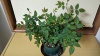 バラの植え替え  ガーデニングに詳しい方教えていただけると有り難いです。 1月にバラのポットを買ってきました。 3月後半になり、毎日どんどん葉が伸びて大きくなり、蕾も出てきたのですが、植え替えたほうがい...