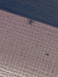 この蜘蛛がよく家にでるのですが,毒を持っていますか?また噛み付かれる奴ですか?