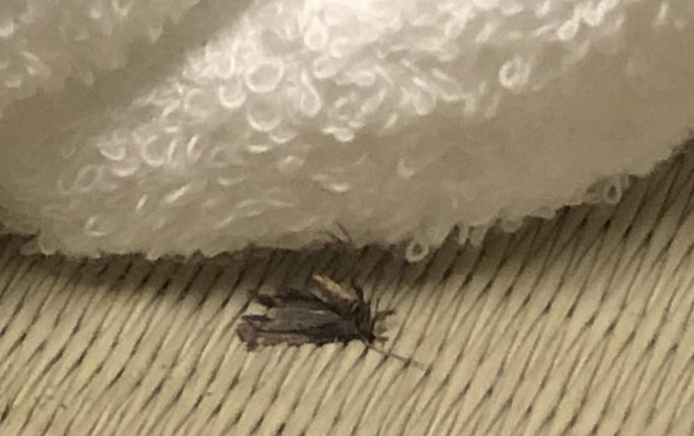 画像が荒くて申し訳ないのですが、どなたかこの虫が何か分かる方はいませんか? 今日の昼ごろから急に家に複数現れて困っています よろしくお願いします