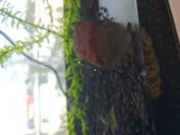 この水槽についてる卵は、何でしょうか? ミナミヌマエビとシマドョウしか買ってません。 この卵は、移動します。