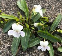珍しい白いスミレを見つけましたが、これは何というスミレかわかりますか? 道路のコンクリートの隙間に咲いており、湿った場所ではなく、花の大きさは2センチ前後だったと思います。 こちら中部地方で、標高が高い場所ではなく街の中です。