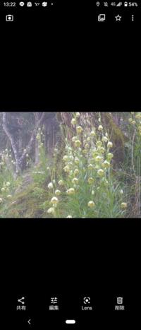 このお花の名前わかりますか? 吉野山でみかけました。 白いお花で、中が斑点模様、葉っぱは笹みたいに細長くて、背丈は40センチくらいのものもありました。