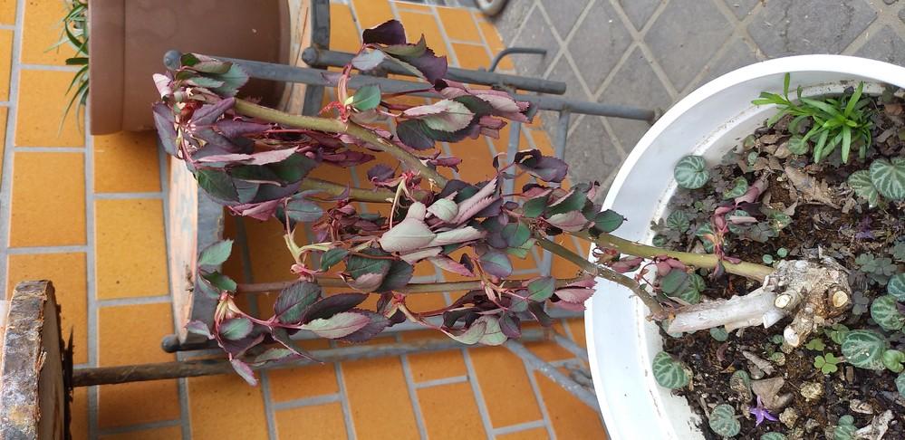 ここ、二、三日の間に画像のように薔薇の葉がしおれました。原因と対処方法を教えて下さい。