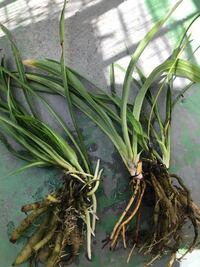 オモトの類でしょうか? 実家の鉢植えを処分するのに、 色々引き抜いて持ち帰りました。  とりあえず水に浸していたら、 新しく根が出てきました。  土壌は観葉植物用で大丈夫でしょうか?
