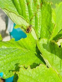 こいつイチゴの葉っぱ食い荒らすんですけど。ミツバチですかね?ミツバチってそんなことします?とりあえず。対処法を教えてください!