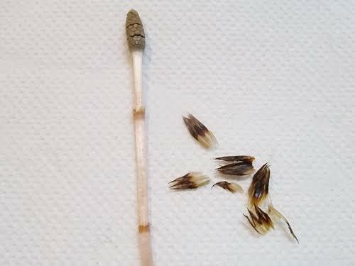 ツクシの「ハカマ(袴)」は何の為についているのでしょうか? ツクシが胞子を虫から守る為でしょうか?(登ってこられないようにする為?)