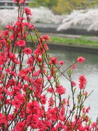 この赤い花って、ボケですか? なんか、ネットで見ると、枝の感じとかが違っているので質問しました。 よろしくお願いします。