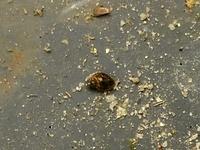 ヒメタニシのいる睡蓮鉢に画像の貝を発見したのですが ヒメタニシの稚貝でしょうか? それとも他の貝でしょうか?