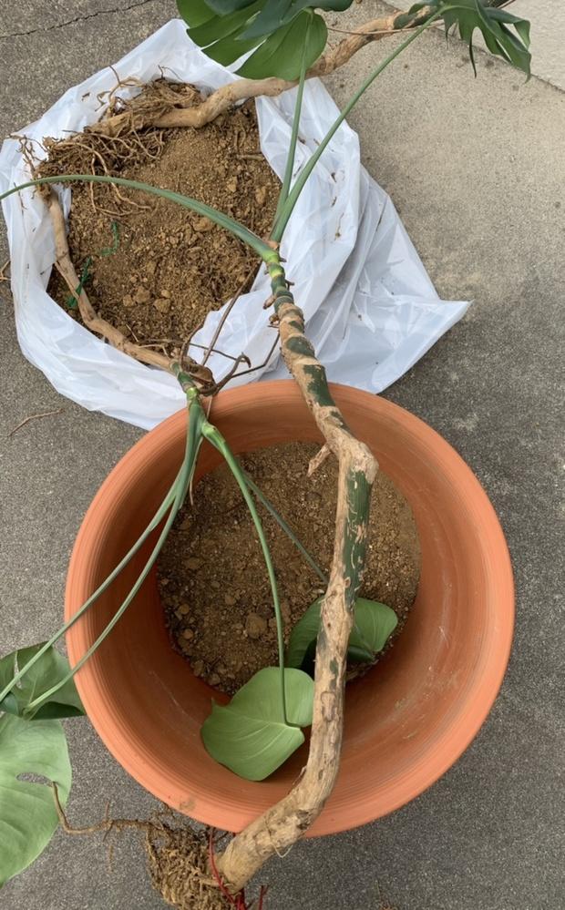 モンステラの切り戻しについて モンステラの葉が一気に3枚ほど茶色くなり、根腐れなのかと植え替えをしようと鉢から出したところなのですが、そもそも根が少ししかなく、育っていないのか、この状態からどう...