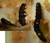 キャベツについていたこの虫は何でしょうか? 冷蔵庫から出したキャベツを剥いていたらいました(もう死んでいますが)。 キャベツの害虫でたどってヨトウガ類やオオタバコガの幼虫をネットで見ましたがこんなに...