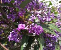 紫色の房になった花を見付けました。 何と言う植物かご存じの方がいらっしゃいましたらお教え下さい。