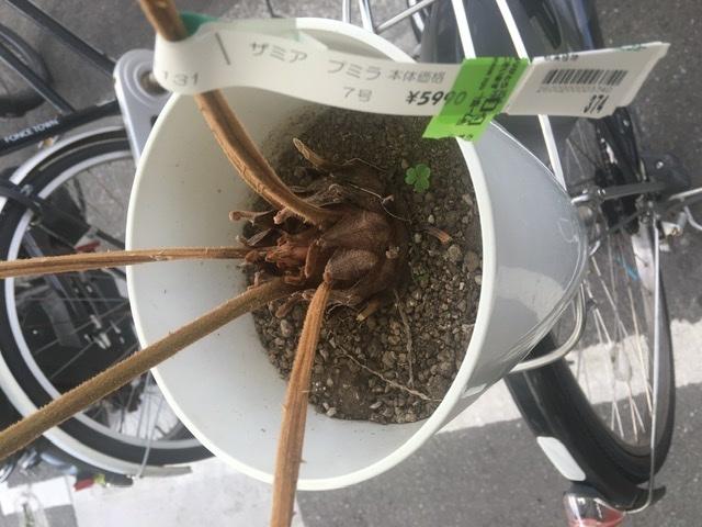ザミアプミラ、ほとんど葉がない物を購入しましたが、適切な管理をしたとして新芽が普通の葉になるまでどれくらいの時間がかかるのか、 育てている人がいましたら、教えてください。 このザミアプミラ、昨年...