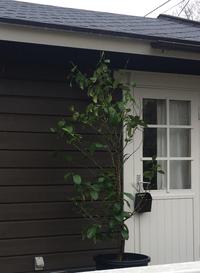 レモンの木です。 昨年購入したものです。 実は20個くらいなっていました。 室内から外に出しました。 5月に地植え予定しています。 初心者のためレモンの剪定方法を 読んでもどこまでが春芽とか夏芽とか...
