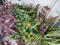 この植物は雑草でしょうか? 5年前に植木屋さんに我が家のモミジの下に植えて頂いたはずなのですが私の管理が悪く雑草なのか、植えてもらった植物なのか分からなくなってしまいました。緑のもこもこした植物は前からあったよな気がするのですが、間から生えてきている紫の植物はあったような、なかったようなで定かでありません。 ちなみに手前の細い葉の植物は確実に前からありましたのでこちらは大丈夫なのですが・・・...