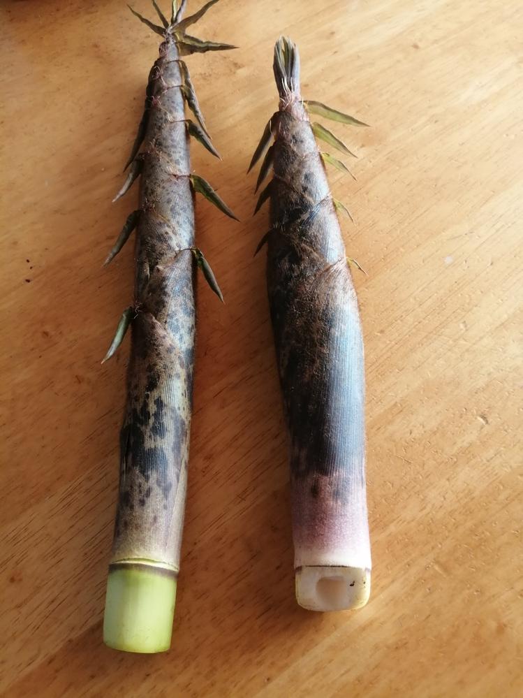 質問お願いします。これはなんと言う竹ですか?真竹でしょうか?採った時期は4月5日です。因みに真竹は5月〜6月頃現れると書いてありました。
