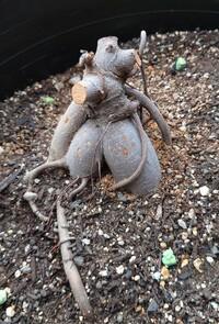 ガジュマルを復活させたいです。 数年前に購入し、屋外で育てているガジュマルがあります。毎年冬が来る前に屋内に入れているのですが、昨年は屋内に入れるのが遅れてしまい、葉が全て枯れてしまいました。 ネットで調べて、枝を剪定すると良いとのことだったので、3月半ばに伸びていた枝を全て剪定しました。また、根詰まりしていたので、今月初めに大きめの鉢に植え替えました。根腐れはありませんでした。植え替え後メ...