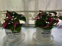 この観葉植物の名前を教えてください。 可愛いピンクと緑の葉をもつ観葉植物だったので 購入しましたが。購入の際名前が記載されていなくて ホームセンターのガーデニング担当の方に 聞いても分からないと言われ...