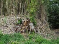 樹木に詳しい方。この根っこだけの樹木が何の木だったか教えてください!