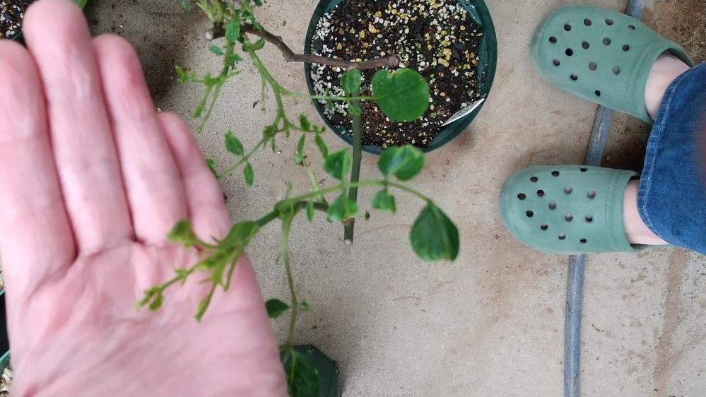 今年で挿し木して3年目の鉢植えの薔薇について質問させて下さい。 春に芽吹いた薔薇の葉が縮れています。 今までは多少縮れてもここまでではなかったです。 同じ品種ばかり縮れているようです、これは病気でしょうか? それとも生理現象でしょうか? また対処法がありましたら教えていただけたらと思います。