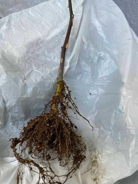 先日バラの挿木何枯れてしまった者ですが 根を出してみたらこのようになっていましたがどうでしょうか?