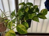 観葉植物の育成初心者です。 昨日、ホームセンターでポトスのハッピーデーを購入しました。 5号ポリポットに植えてあり、その上から吊り下げプラスチックポットの中に入っている状態です。 狭そうなので、植え替えをしてあげた方が良いのかどうか迷っています。  このポトスは新たなポットに植え替えした方が良いでしょうか? また、植え替え時期はいつ頃が良いでしょか?  ポトスは丈夫だと聞きます...
