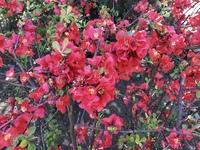 この赤い花の名前を教えてください。   南行徳のえんぴつ公園で見ました。