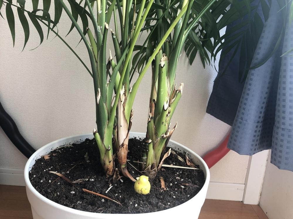 観葉植物の切り口について 切り口が枯れて見た目がよくありません。 この場合はどう対処したらよいでしょうか? 鉢の大きさはちょうどよいです。(もうひとつ大きいものに植え替えても問題はなさそうです。)