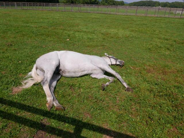 サラブレッドは足一本失うと安楽死させなければならないというが、寝てても平気じゃないですか。