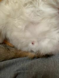 猫の去勢について質問です。 だいぶ前に去勢したのですが、写真のように 生殖器みたいなものが時々出てきます。 これはなんでしょうか??