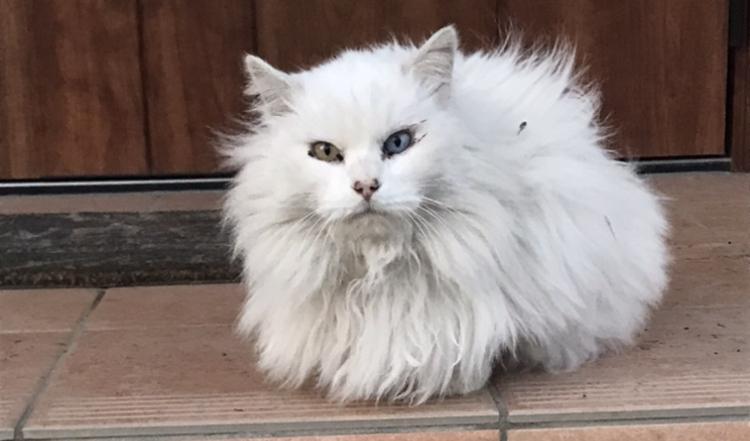 至急です!! この猫の種類を教えてください