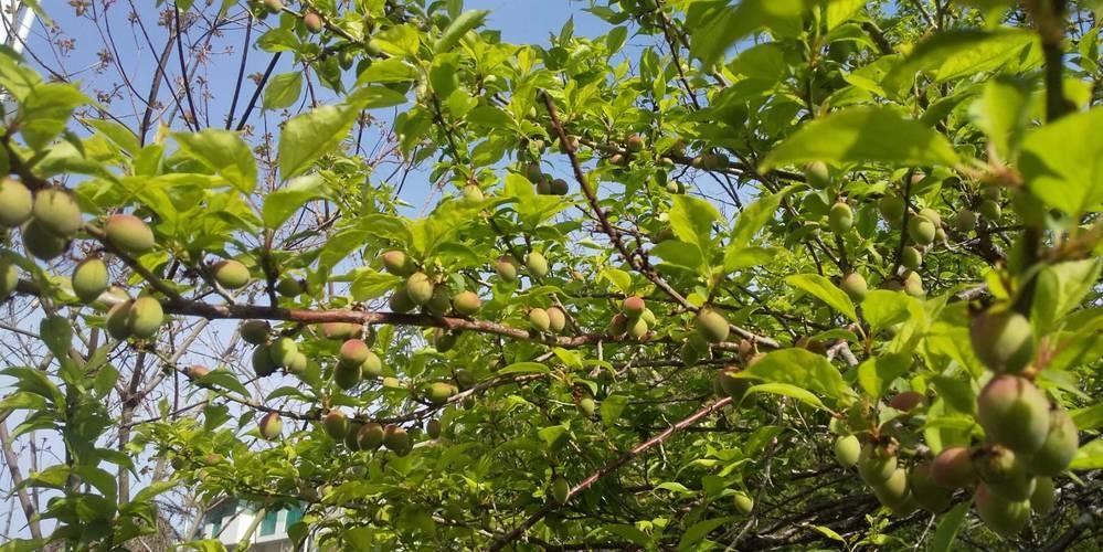小梅の収穫時期を教えて下さい。 毎年実っていたのですが、青梅があったので放置していました。が、一昨年青梅の木の剪定をした為青梅が出来なくなり今年は小梅を漬けようという事になったのですが、なにせ初めての収穫。どうなったら収穫時期なのか全く分かりません。 こちら九州なのですが、先週末に強風が吹いた為かなり落ちたので、早く収穫しないといけないかな?と焦りもあります。 すでに赤みもあり、実もついてき...