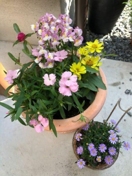 寄せ植えについて教えてください。 苗を買ってきて、寄せ植えを作りたいと思っているところです。 宿根ネメシア、千日紅、ナデシコ、黄色い花は名前を忘れてしまいました。 それと数日前に買ってきたブラキカムがあります。 まだ鉢の中に置いてみただけなんですが、この組み合わせはどう思いますか。 苗4つは多すぎますか? 鉢は深さ20センチくらいのもので、8号鉢のようです。