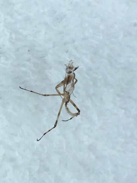 この虫は何て名前なのでしょうか? 透明だったので、抜け殻かと思いきや、動き出したので…宜しくお願いします。