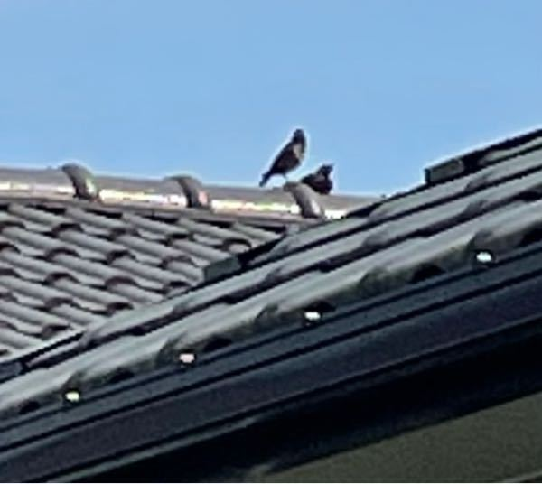 不鮮明な写真ですみません! 隣家の屋根で仲良くしている野鳥のつがいです。名前を教えて頂きたいです。 宜しくお願い致します。