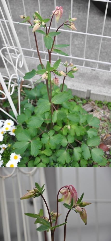 庭に写真の花が咲いています。 雑草にしてはきれいですが植えた記憶がありません。どなたか名前を教えていただけませんでしょうか。