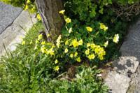 この黄色い花はなんという種類ですか?雑草ですか?